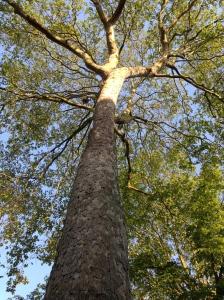 私の住居は古くて歴史ある並木道に面してあります。その並木道の木。今ちょうど大きくなりすぎた部分を樹木医が25メートルに剪定中。