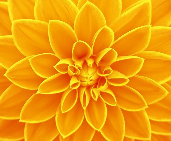 golden_flower_mahatma_on