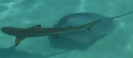 shark-and-stingray